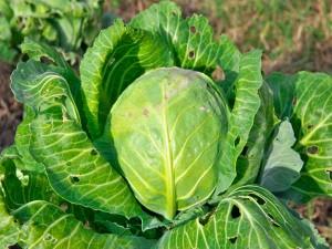23-1435037153-cabbage
